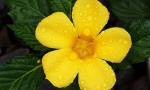 fleur damiana